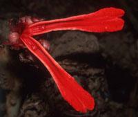 Etlingera megalocheilos