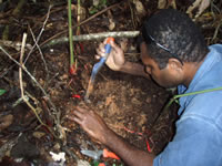 Billy Bau, botanist from Papua New Guinea Forest Research Institute in Lae, in the process of excavating the subterranean fruits of a new species of Etlingera from the mountainous Bulolo area.