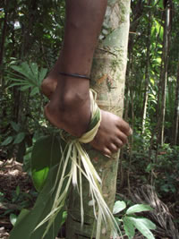 The leafy shoot of Alpinia oceanica is used by the locals when climbing palms for betel or coconuts.