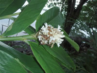 Alpinia oceanica is one of the most common wild ginger species on the outer islands in PNG.